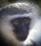 Vervet monkey portrait close up with detail on long facial hair Royalty Free Stock Photography