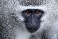 Vervet Monkey Portrait Stock Image