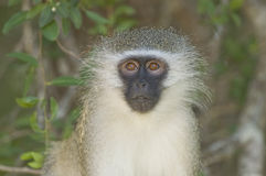 Vervet Monkey Portrait, South Africa Stock Images