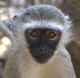 Vervet Monkey Portrait Royalty Free Stock Photo