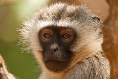 Vervet monkey. Portrait of a wild vervet monkey in African savannah Royalty Free Stock Photos