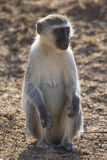 Vervet monkey rest and sit and forage for food in nature Stock Photos
