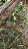 Vervet Monkey resting on a tree branch Royalty Free Stock Photos