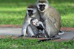 Vervet monkey in the savannah Stock Photos