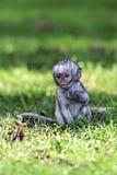 Vervet monkey in the savannah Stock Image