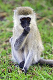 Vervet monkey in the savannah Royalty Free Stock Photography