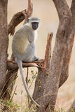 Vervet monkey sit on branch while forage for food in nature Stock Photo