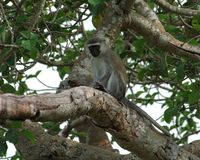 Vervet monkey sitting on a bough Royalty Free Stock Image