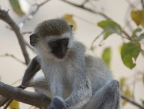 Vervet monkey, sitting on branch with arms folded over legs Stock Images