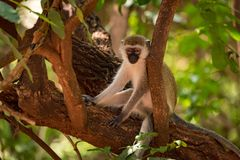 Vervet monkey sitting on branch in shade Stock Images