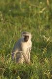 Vervet monkey Royalty Free Stock Images