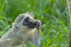 Vervet monkey sitting on green grass eating Royalty Free Stock Photography