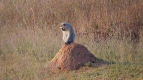 Vervet monkey sitting on a termite hill Royalty Free Stock Photography