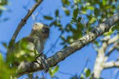 Vervet monkey sitting in a tree Stock Photo