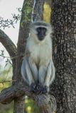 Vervet monkey sitting in a tree Royalty Free Stock Photo