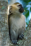Uganda, Vervet Monkey, ape sitting in a tree royalty free stock photography