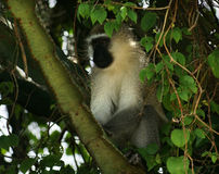 Vervet monkey sitting in a treetop. A vervet monkey in Uganda (Africa) sitting on a bough in a shady treetop Stock Images