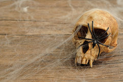 Vervet monkey skull covered with cobwebs and a black spider. On a wooden background Royalty Free Stock Image