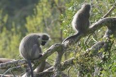 Vervet Monkey, South Africa Royalty Free Stock Photo