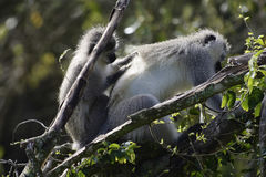 Vervet Monkey, South Africa Stock Photo