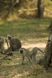 Vervet monkey in St.Lucia Stock Photo