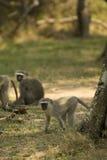 Vervet monkey in St.Lucia Stock Photo