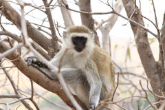 Vervet Monkey Stare. Vervet Monkey (Chlorocebus pygerythrus) stares from a tree branch stock images