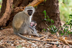 Vervet Monkey Surpise. A young Vervet Monkey looks as if though he is completely surprised Royalty Free Stock Photo