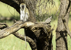 Vervet Monkey, Tanzania Royalty Free Stock Photography