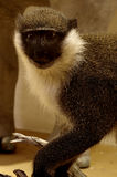 Vervet monkey taxidermy Royalty Free Stock Photography