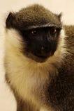 Vervet monkey taxidermy 2 Stock Images