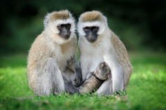 Vervet monkey Stock Images