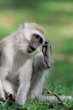 Vervet monkey Stock Photography