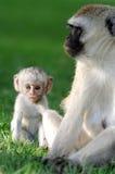 Vervet monkey Stock Images
