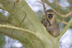 Vervet Monkey in a tree Royalty Free Stock Photos