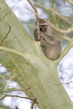 Vervet Monkey in a tree Stock Image