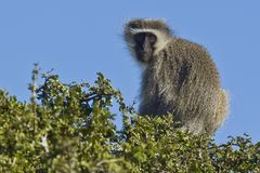 Vervet monkey in a tree Royalty Free Stock Images