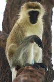 Vervet monkey on a tree branch Stock Photography