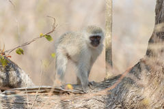 Vervet monkey on tree branch Stock Photos