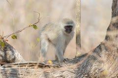 Vervet monkey on tree branch Stock Photos