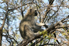 Vervet Monkey in a Tree Royalty Free Stock Photography