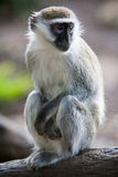 Vervet Monkey On a Tree Royalty Free Stock Images