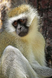 Vervet monkey on a tree Royalty Free Stock Photo