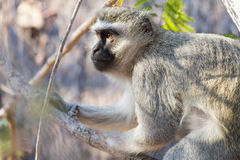 Vervet monkey in a tree Stock Photos