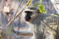 Vervet monkey in a tree Stock Images