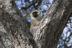 Vervet monkey in tree. A vervet monkey sitting in a tree covered with moss Stock Images