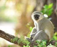 Vervet Monkey in tree South Africa. Vervet, Grivel Monkey, Green Monkey, Malbrouk, Tantalus sitting in Acacia tree Royalty Free Stock Photos