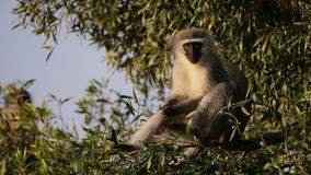 Vervet monkey in a tree Stock Photo