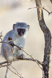 Vervet Monkey in tree Stock Photos