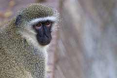 Vervet Monkey Turns Its Head. Vervet Monkey closeup in Kruger National Park, South Africa stock images